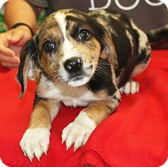 Catahoula Leopard Dog/Coonhound Mix Puppy for adoption in Sparta, New Jersey - Tetra - ADOPTION PENDING