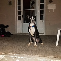 American Pit Bull Terrier/Boxer Mix Dog for adoption in Baltimore, Maryland - Kami
