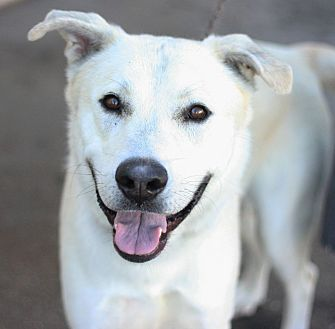 Labrador Retriever Mix Dog for adoption in Canoga Park, California - Oneil