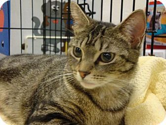 Domestic Shorthair Cat for adoption in Oviedo, Florida - Baby