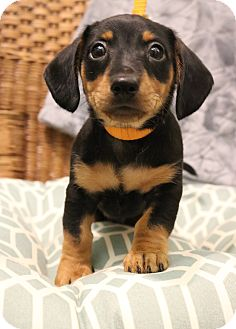 Dachshund/Yorkie, Yorkshire Terrier Mix Puppy for adoption in Hagerstown, Maryland - Apple Jack