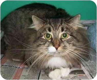 Domestic Longhair Cat for adoption in Somerset, Pennsylvania - Streak