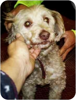 Poodle (Toy or Tea Cup)/Shih Tzu Mix Dog for adoption in Mt. Lebanon, Pennsylvania - Pinky