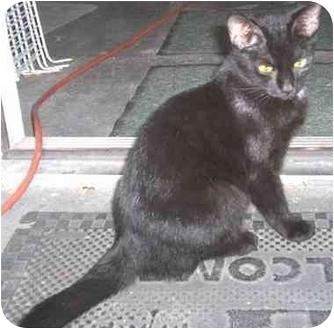 Domestic Shorthair Kitten for adoption in Miami Beach, Florida - Gracie(URGENT)