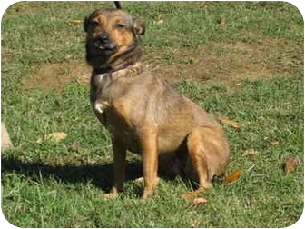 Chihuahua/Dachshund Mix Dog for adoption in Jackson, Tennessee - Sugar