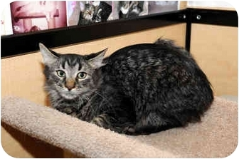 Domestic Mediumhair Cat for adoption in Farmingdale, New York - Maxim
