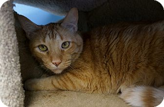 Domestic Shorthair Cat for adoption in Chicago, Illinois - Cashew