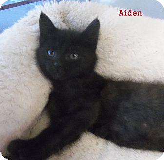Domestic Shorthair Kitten for adoption in Slidell, Louisiana - Aiden