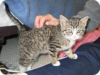 Domestic Shorthair Kitten for adoption in Fort Wayne, Indiana - Noelle