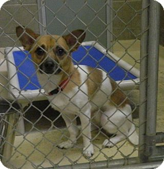 Chihuahua/Terrier (Unknown Type, Small) Mix Dog for adoption in Rockaway, New Jersey - Max II