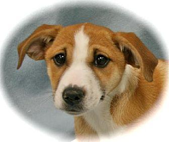 Collie Puppy for adoption in Lufkin, Texas - Lucy