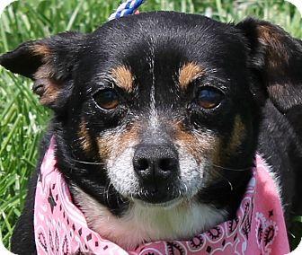 Chihuahua Dog for adoption in Lexington, Missouri - Delores