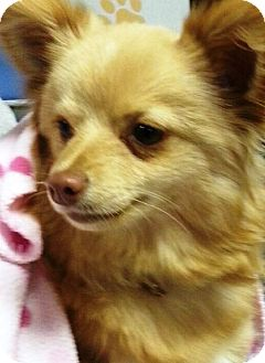 Chihuahua/Pomeranian Mix Puppy for adoption in Oswego, Illinois - Gracie