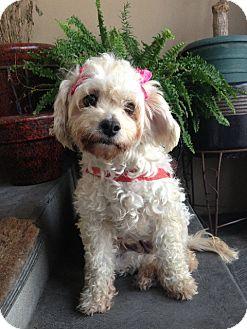 Poodle (Miniature) Mix Dog for adoption in Santa Monica, California - HANNAH