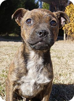 Boston Terrier/Chihuahua Mix Puppy for adoption in Newark, Delaware - Xander