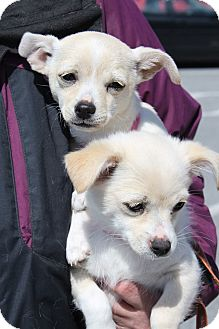 Chihuahua Mix Puppy for adoption in Staunton, Virginia - Belle and Daisy