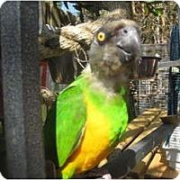 Adopt A Pet :: Piwi - Melbourne Beach, FL