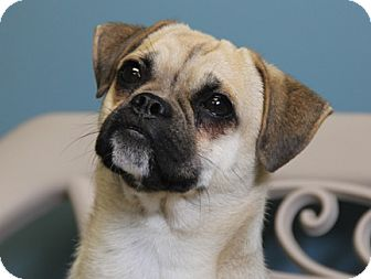 Pug/Jack Russell Terrier Mix Dog for adoption in Staunton, Virginia - Pugs