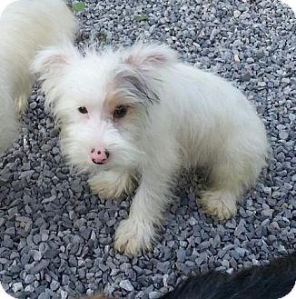 Schnauzer (Miniature)/Maltese Mix Puppy for adoption in Allentown, Pennsylvania - Aspen