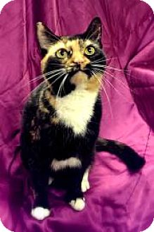 Domestic Shorthair Cat for adoption in Lowell, Massachusetts - Shiloh