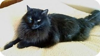 Domestic Longhair Cat for adoption in McHenry, Illinois - Trevor