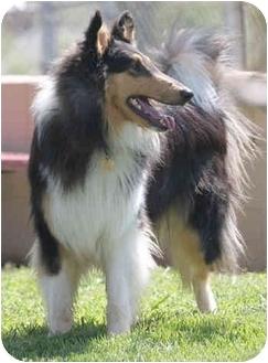 Collie Dog for adoption in Gardena, California - TJ