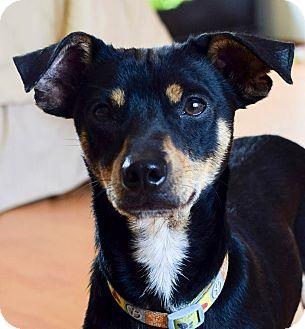 Miniature Pinscher Mix Puppy for adoption in San Diego, California - LOLA