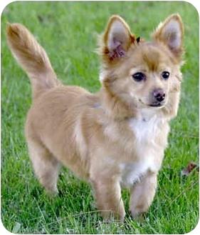 Chihuahua/Pomeranian Mix Puppy for adoption in Marina del Rey, California - Clinton