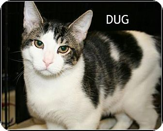 Domestic Shorthair Cat for adoption in Houston, Texas - Dug