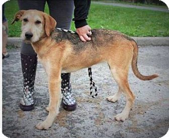 Airedale Terrier/Wheaten Terrier Mix Dog for adoption in Lima, Pennsylvania - Trina