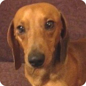 Dachshund Dog for adoption in Houston, Texas - Freddie Frankfurter
