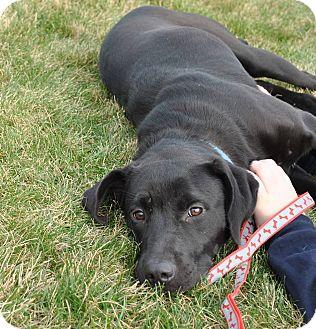Labrador Retriever Mix Dog for adoption in Smithtown, New York - Penne