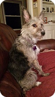 Schnauzer (Standard)/Wirehaired Fox Terrier Mix Dog for adoption in Mentor, Ohio - BELLA LYNN**19 lbs & 2 YRS OLD!!
