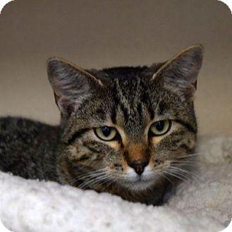 Domestic Shorthair Cat for adoption in Denver, Colorado - Harper