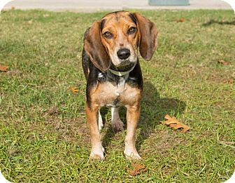 Beagle Dog for adoption in Boston, Massachusetts - Felicia