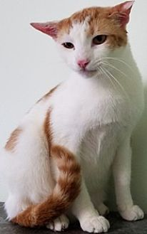Domestic Shorthair Cat for adoption in Sistersville, West Virginia - Chopper