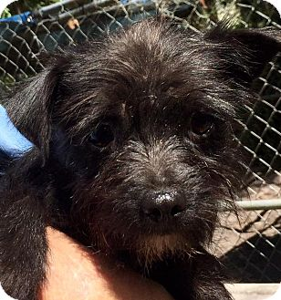 Shih Tzu/Chihuahua Mix Dog for adoption in Orlando, Florida - Aspen
