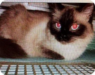 Ragdoll Cat for adoption in Hampton, Virginia - SOPHIA