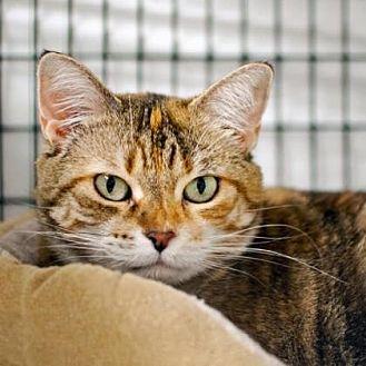 Domestic Shorthair Cat for adoption in Denver, Colorado - Turtle