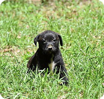 Labrador Retriever/Pit Bull Terrier Mix Puppy for adoption in Groton, Massachusetts - Jaki