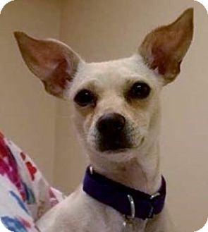 Chihuahua Mix Dog for adoption in Springfield, Vermont - Trixie