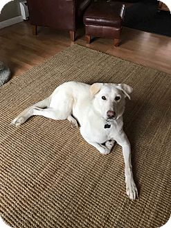 Shepherd (Unknown Type) Mix Dog for adoption in Middletown, Rhode Island - Shiva