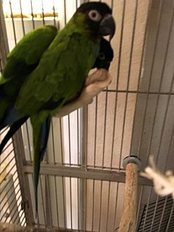 Conure for adoption in Punta Gorda, Florida - Andy & Cory