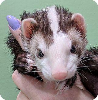 Ferret for adoption in Hartford, Connecticut - Zayn