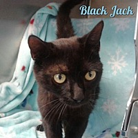 Domestic Shorthair Cat for adoption in Harrisville, West Virginia - Black Jack