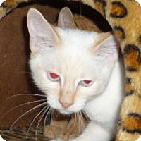 Adopt A Pet :: ShoChu - Dallas, TX