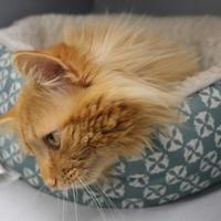 Domestic Mediumhair/Domestic Shorthair Mix Cat for adoption in Houghton, Michigan - Boris