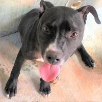 Terrier (Unknown Type, Small) Mix Dog for adoption in St. Thomas, Virgin Islands - BLAKE