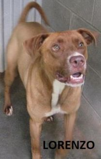 Labrador Retriever/American Pit Bull Terrier Mix Dog for adoption in Tahlequah, Oklahoma - Lorenzo