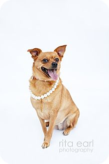 Pug/Chihuahua Mix Dog for adoption in Los Angeles, California - Peewee Noneck MGee